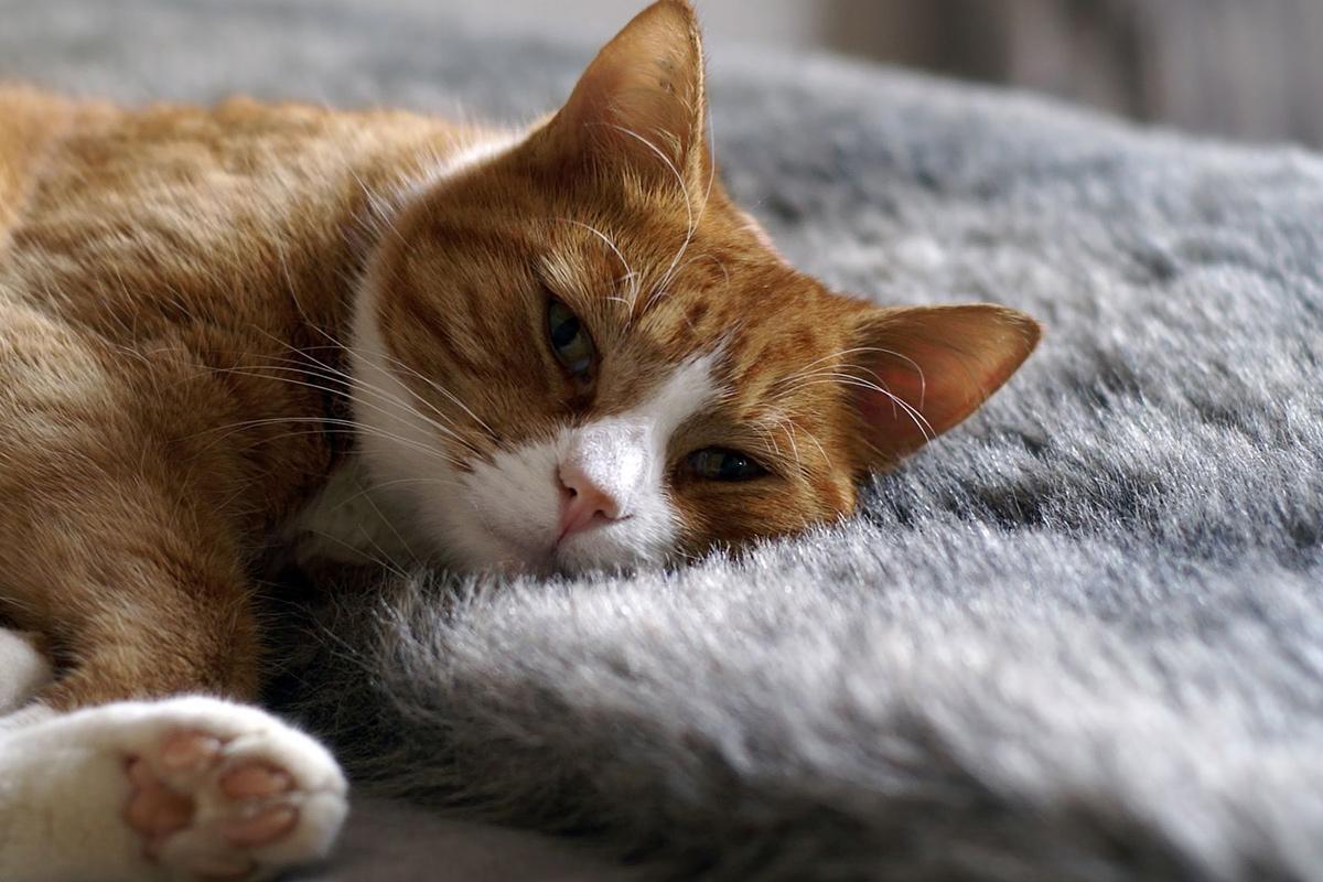 Yellow_Cat_Lying_On_A_Fur_Blanket.jpg